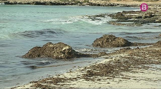 Tornen+a+dipositar+la+posidonia+a+la+costa+de+Menorca+per+evitar+l%27erosi%C3%B3+de+la+vorera+de+la+platja