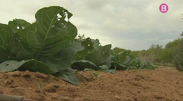 La+Xylella+fastidiosa+preocupa+els+agricultors+de+Formentera