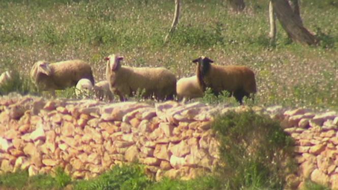 11+ovelles+mortes+per+mor+dels+atacs+de+cans+a+Formentera