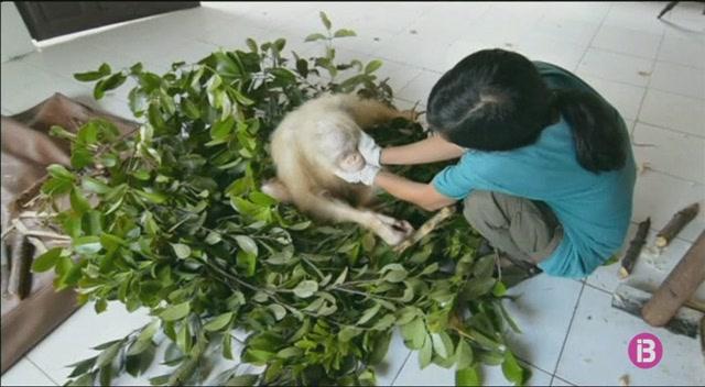 Un+orangutan+alb%C3%AD+ha+estat+rescatat+a+Borneo