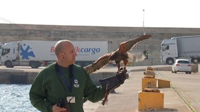 La+falconeria+%C3%A9s+imprescindible+per+controlar+la+fauna+al+port+de+Palma