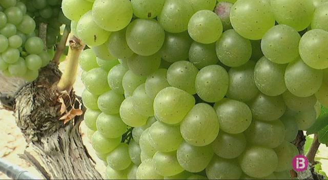 La+verema+s%27avan%C3%A7ar%C3%A0+en+algunes+vinyes+de+Mallorca