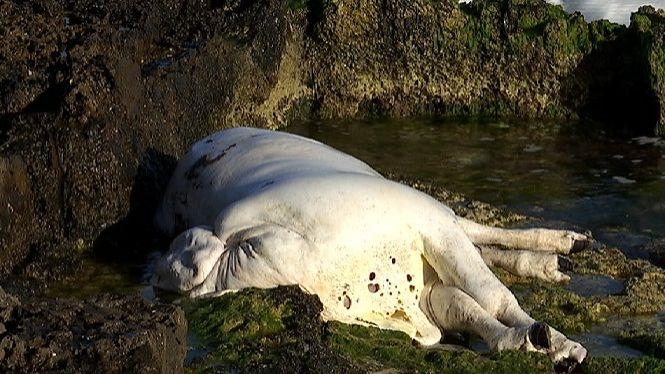Apareix+una+vaca+morta+a+pocs+metres+de+la+platja+de+Punta+Prima