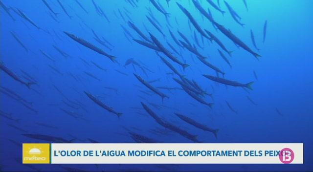 L%27olor+de+l%27aigua+modifica+el+comportament+dels+peixos