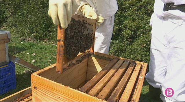 Els+apicultors+d%27Eivissa+proposen+recuperar+l%27abella+aut%C3%B2ctona+important+exemplars+de+Mallorca