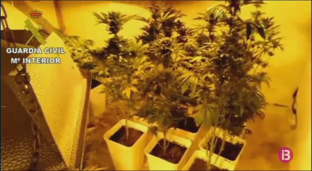 Detingut+un+home+de+55+anys+per+cultivar+150+plantes+de+marihuana+a+casa+seva