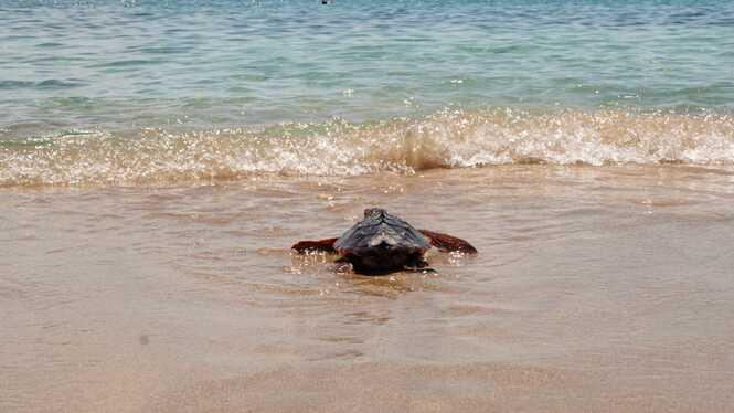 Tornen+a+la+mar+les+primeres+tortugues+que+nasqueren+a+una+platja+de+les+Illes+Balears