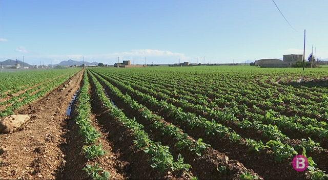 La+pluja+retarda+un+mes+la+collita+de+la+patata+tardana+a+sa+Pobla