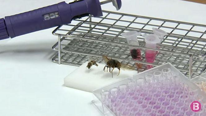 La+UIB+fa+el+primer+estudi+al+m%C3%B3n+de+com+la+vespa+asi%C3%A0tica+afecta+les+abelles