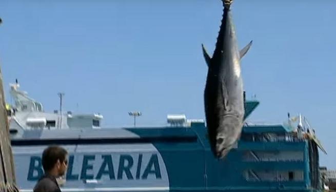 Els+pescadors+eivissencs+asseguren+que+la++recuperaci%C3%B3+de+la+tonyina+ha+donat+fruits