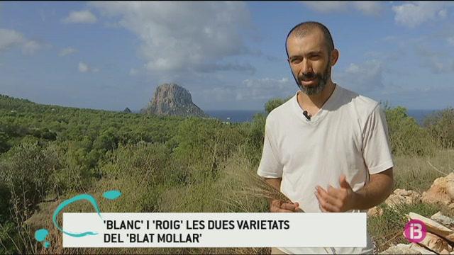 La+varietat+de+blat+%26%238216%3Bmollar+blanc%27+torna+a+ser+una+realitat+a+Eivissa