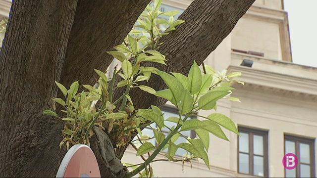 Un+arbre+centenari+de+pla%C3%A7a+de+la+Reina+de+Palma%2C+en+perill+per+una+infecci%C3%B3+desconeguda