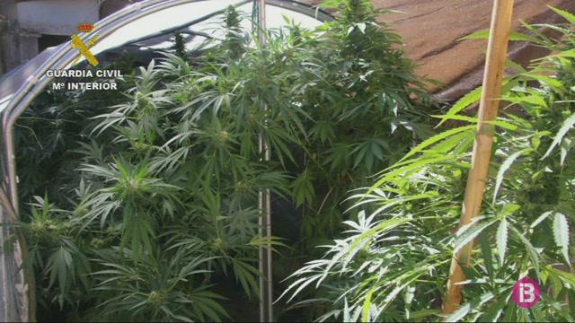 Desmantellades+7+plantacions+de+marihuana+a+Mallorca