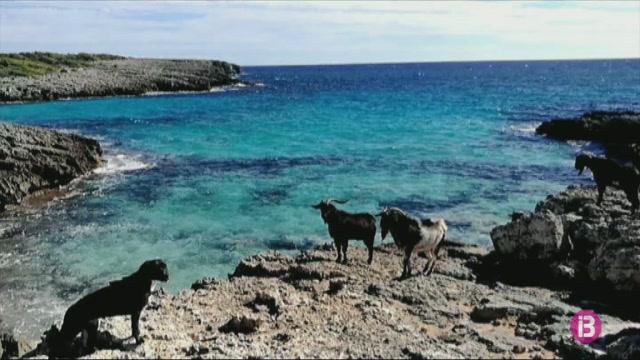 Un+grup+de+cabres+silvestres+es+deixa+veure+a+diferents+paratges+del+sud+de+Ciutadella