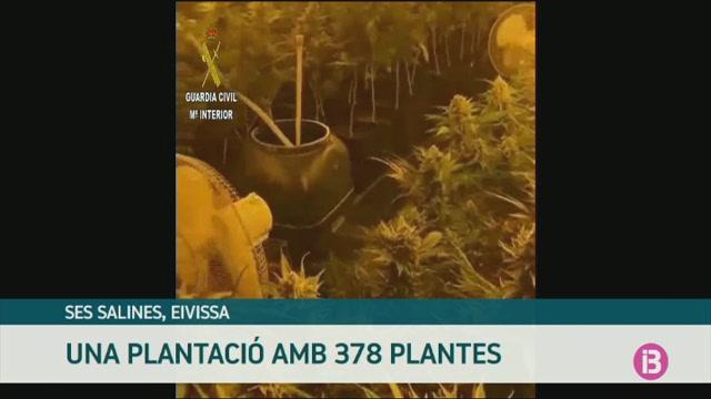 Detingut+un+home+a+Eivissa+amb+378+plantes+de+marihuana