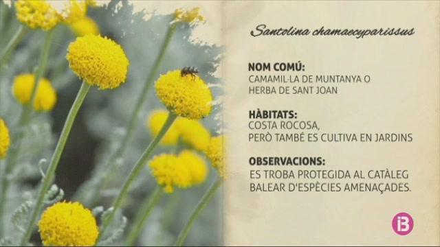 Coneixem+la+camamil%C2%B7la+o+herba+de+Sant+Joan