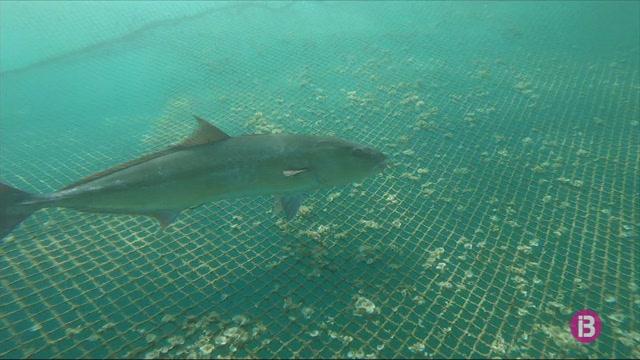 Un+projecte+oceanogr%C3%A0fic+vol+confirmar+si+la+serviola+ve+a+reproduir-se+a+la+costa