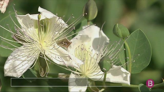 La+taparera+floreix+fins+al+mes+de+setembre
