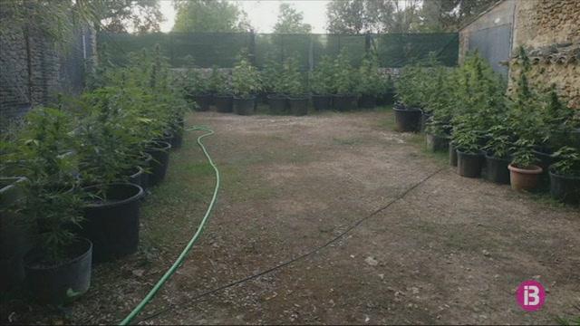 Detingut+amb+793+plantes+de+marihuana+en+una+casa+entre+Inca+i+Llub%C3%AD