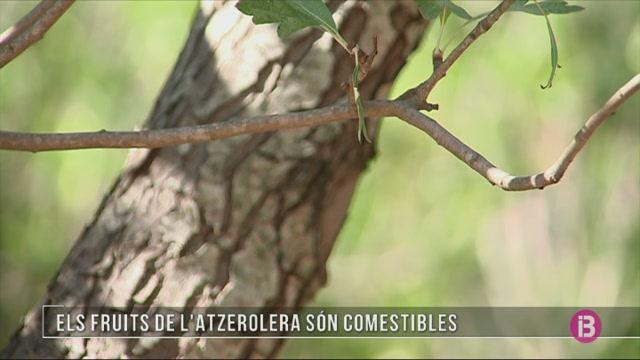 Els+fruits+de+l%27atzerolera+s%C3%B3n+comestibles