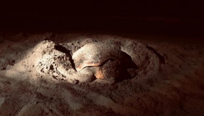 Una+tortuga+marina+posa+els+seus+ous+per+primera+vegada+a+la+costa+balear