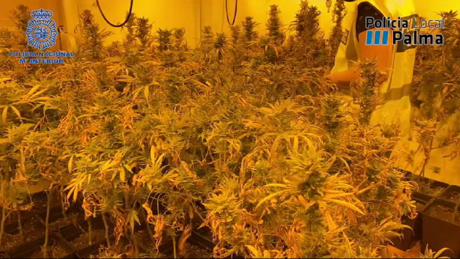 Desmantellen+una+plantaci%C3%B3+de+marihuana+i+un+punt+d%27adulteraci%C3%B3+de+coca%C3%AFna+a+Palma