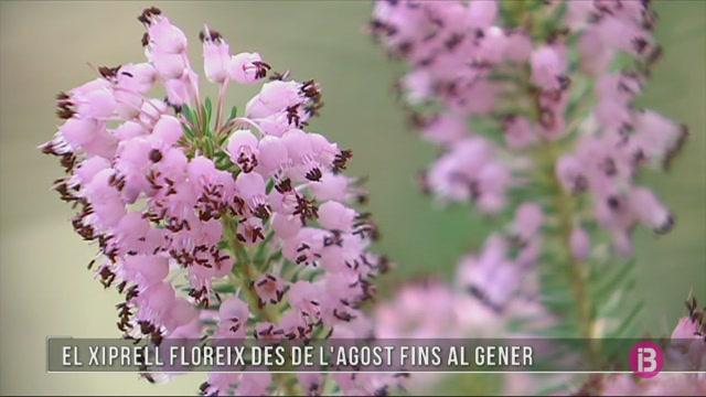 El+bruc+d%27hivern+o+xiprell+floreix+des+de+l%27agost+fins+al+gener