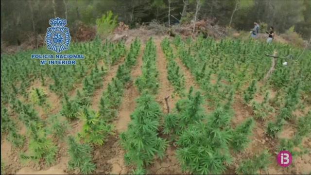 Desmantellada+la+plantaci%C3%B3+m%C3%A9s+gran+de+marihuana+localitzada+a+Arag%C3%B3