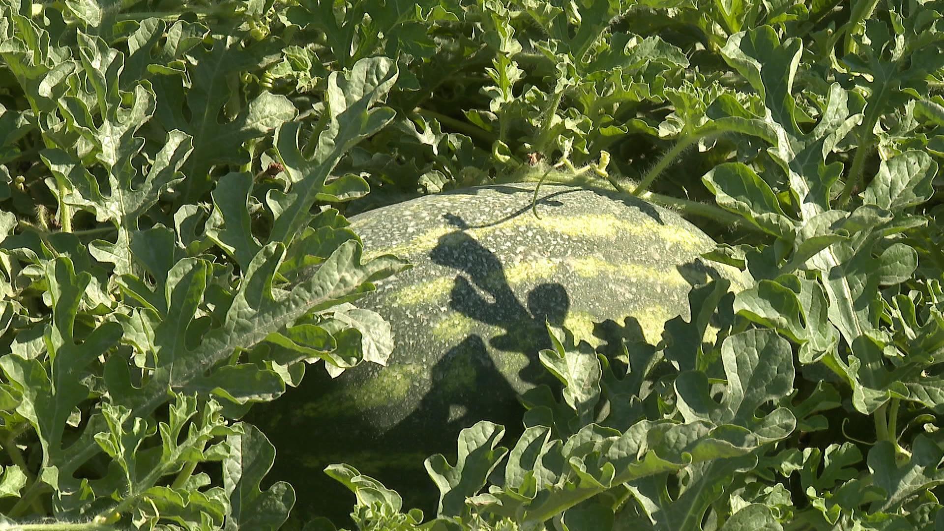 Els+pagesos+es+refien+del+turisme+per+tenir+una+bona+campanya+de+s%C3%ADndries+i+melons