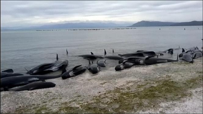 M%C3%A9s+de+400+balenes+varades+a+la+costa+a+Nova+Zelanda
