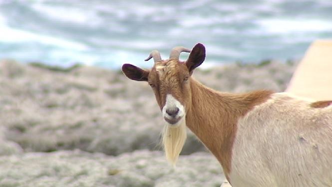 Les+cabres+salvatges+de+Sant+Llu%C3%ADs+no+seran+sacrificades+finalment