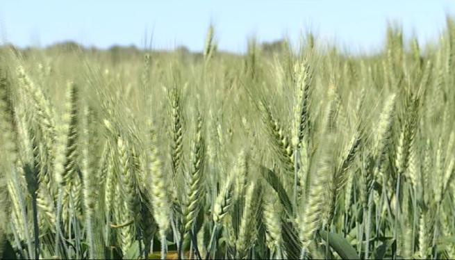 Els+pagesos+mallorquins+preveuen+una+excel%C2%B7lent+campanya+del+cereal