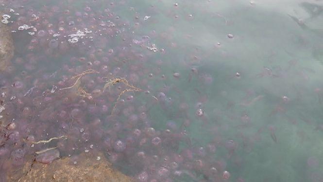 Centenars+de+borns+arriben+a+la+costa+de+Sant+Antoni+arrossegats+pels+corrents+marins
