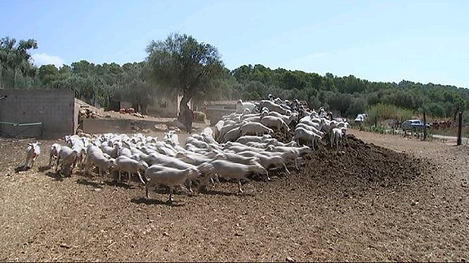 Oviarag%C3%B3n+impulsa+un+programa+pilot+a+12+explotacions+ovines+de+Mallorca+per+millorar+la+qualitat+del+xot