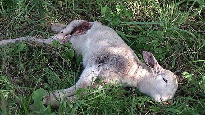 A+Alar%C3%B3+els+atacs+de+cans+han+provocat+la+mort+de+m%C3%A9s+de+200+animals+durant+els+darrers+4+anys