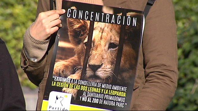 PACMA+demana+al+Govern+que+traslladin+al+santuari+valenci%C3%A0+Primadomus+les+dues+lleones+i+una+lleoparda+confiscades+a+Son+Servera