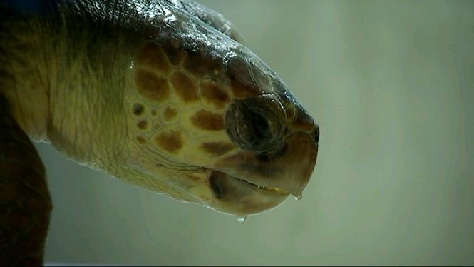 El+Palma+Aquarium+at%C3%A9n+100+tortugues+marines+i+120+cetacis+ferits+en+tres+anys