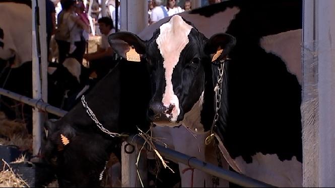 La+vaca+%26%238216%3BTalent+F%C3%A1tima%27%2C+de+Binillubet%2C+Gran+Campiona+del+concurs+morfol%C3%B2gic+de+bestiar+fris%C3%B3