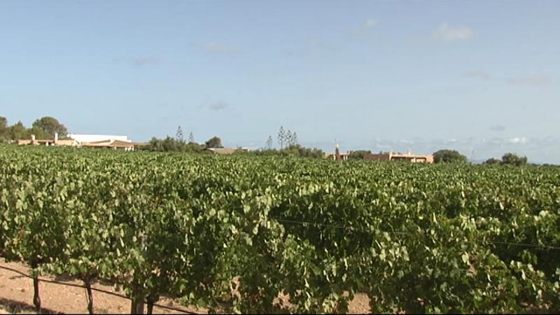Els+productors+de+vi+de+les+Piti%C3%BCses+esperen+que+la+qualitat+de+la+collita+d%27enguany+sigui+molt+bona